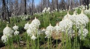 xerophyllum tenax - beargrass