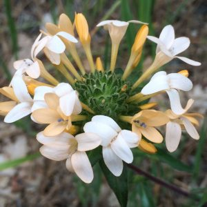 Collomia grandiflora-Grand collomia