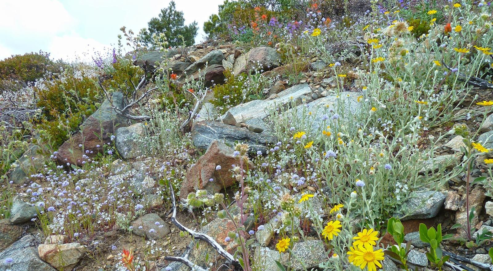 wildflowers after wildfire are a boon for pollinators