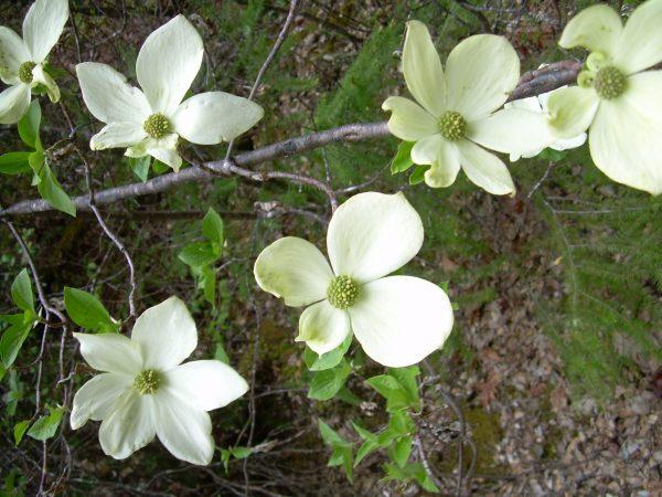 Cornus nuttallii-Pacific dogwood