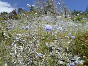 Gilia capitata-Bluehead gilia