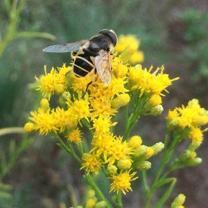 euthamia-occidentalis_western-goldentop