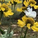 Bigelow's sneezeweed (Helenium bigelovii)