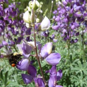 Perennial Wildflower