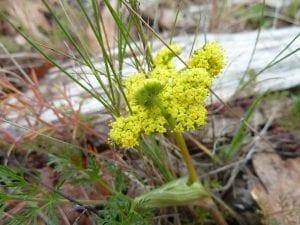 Common lomatium (Lomatium utriculatum)