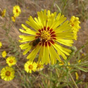 Annual Wildflower