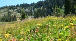 Siskiyou meadow native wildflowers