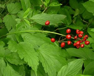 Actaea rubra-Red baneberry