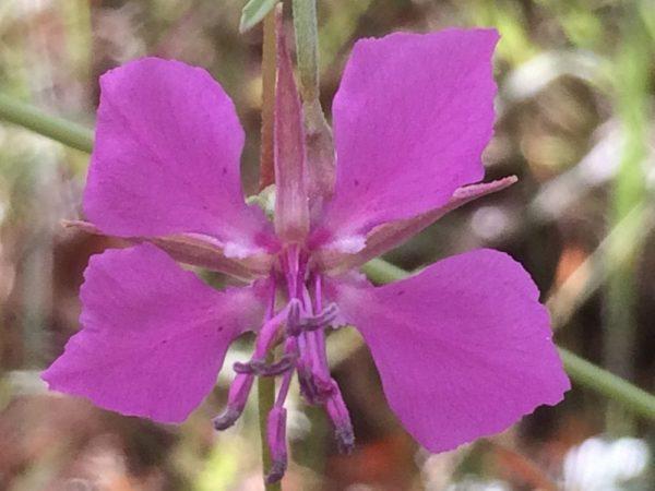 Clarkia rhomboidea-Diamond clarkia