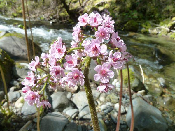 Darmera peltata-Umbrella plant