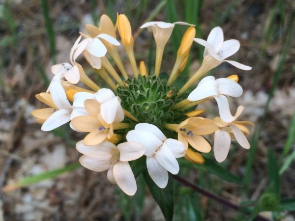 Collomia grandiflora-Grand collomia
