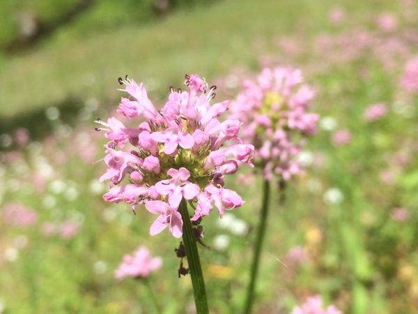 Plectritis congesta-Sea blush