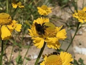 Helenium bigelovii-Bigelow's sneezeweed