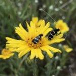 Fairy longhorn moths on tarweed