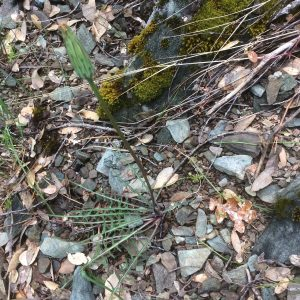 Agoseris retrorsa - Spearleaf mountain dandelion
