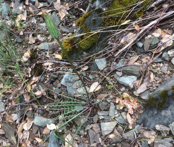 Agoseris retrorsa - Spearleaf mountain dandelion