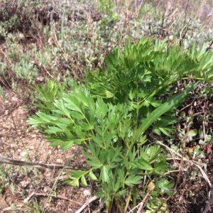 Ligusticum grayi - Gray's lovage