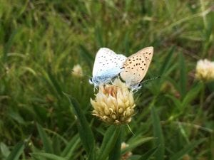 Mating blue butterflies on native clover in the Trinity Alps Wilderness