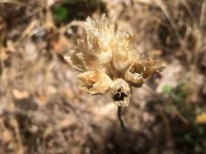 Blue dicks seed (Dichelostemma capitatum)