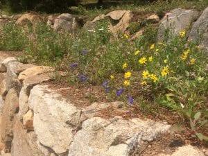 Oregon sunshine (Eriophyllum lanatum) in the landscape