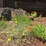 Landscaping with natives in the Klamath-Siskiyou