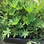 Lupinus latifolius-Broad leaved lupine