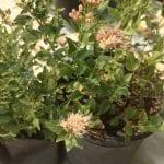 Ageratina occidentalis-Western joepiweed