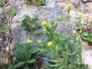 Eucephalus species-Siskiyou Mountains
