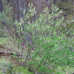 Oemerlia cerasiformis-Oso berry