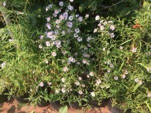 Douglas aster-Symphyotrichum subspicatum
