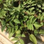 Blue elderberry-Sambucus nigra spp.caerulea
