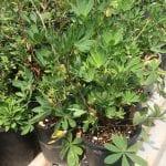 Broadleaf lupine-Lupinus latifolius