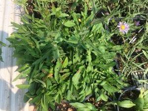 Leafybract aster-Symphyotrichum foliaceum