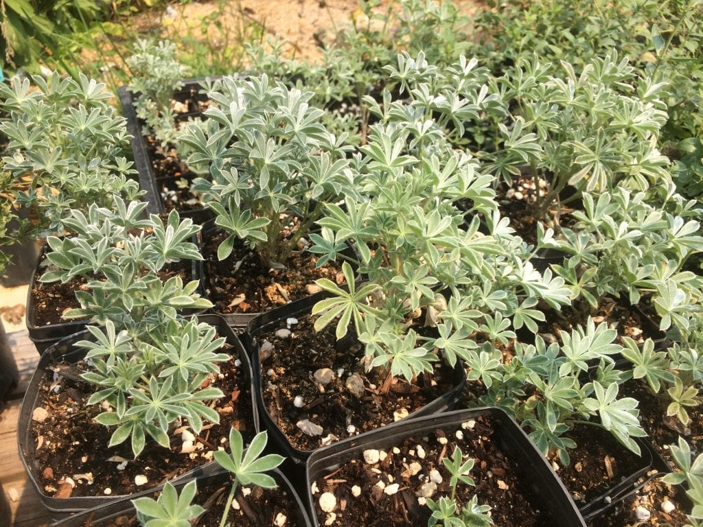 Silver bush lupine-Lupinus albifrons