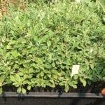 Sulphur flower buckwheat-Eriogonum umbellatum