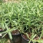 Showy milkweed-Asclepias speciosa