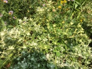 Oregon sunshine-Eriophyllum lanatum