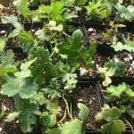 Columbia monkshood-Aconitum columbianum