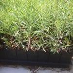 Narrowleaf milkweed-Asclepias fascicularis
