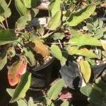 Arrowleaf buckwheat-Eriogonum compositum