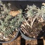 Great basin sage-Artemisia tridentata