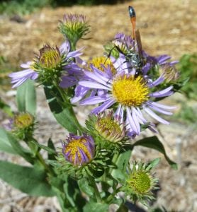 Symphyotrichum foliaceum-Leafybract aster