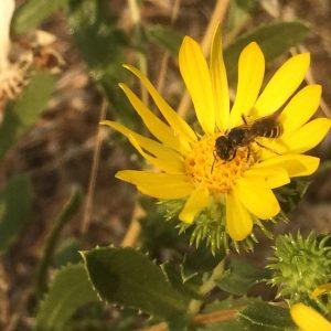 Grindelia nana-Idaho gumweed