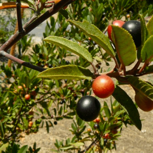 Frangula californica-California coffeeberry