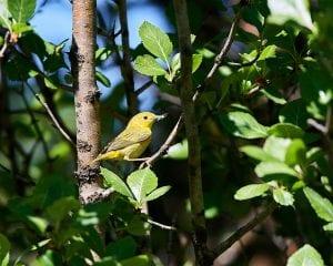 yellow warbler_Frank Lospalluto