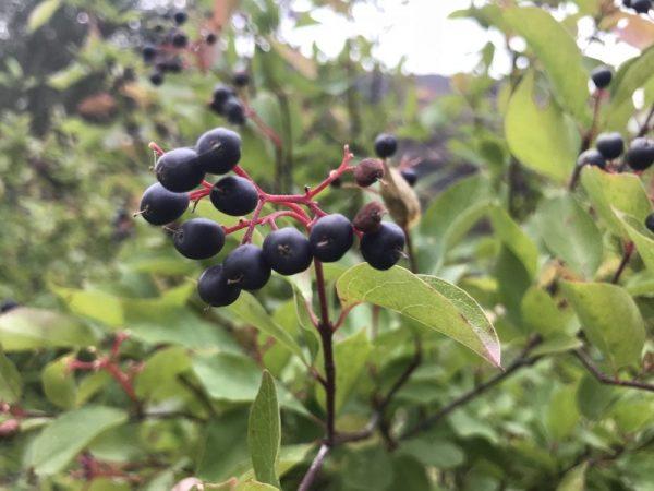 Cornus glabrata-Brown dogwood