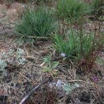 Native plants in seeded into burn pile