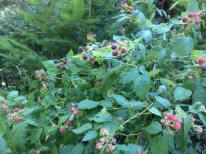 Rubus leucodermis-Blackcap raspberry