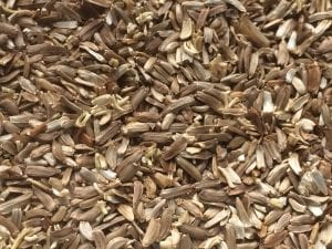 Grindelia nana seed