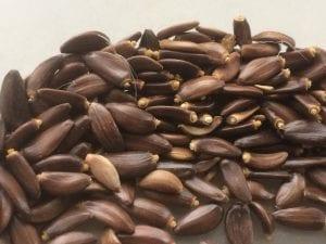 Cirsium occidentale seed